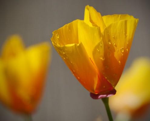50mm Lens Poppies