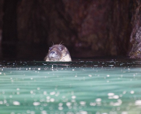 Pembrokeshire Seal in a cave