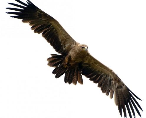 Birds of Prey Yellow Billed Kite